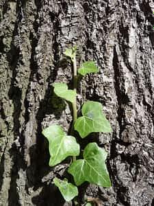 Efeu klettert auf den Baum